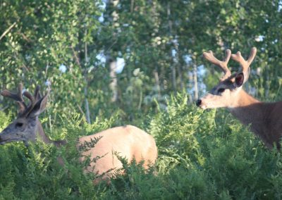 Two Little Bucks in Summer Velvet